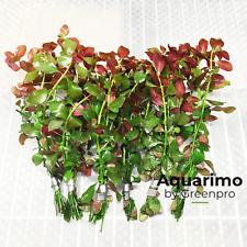 Ludwigia Repens Red Rubin 6 Bundles Freshwater Aquarium Live Plant Decoration