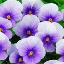 Viola-Sorbet Blu ghiaccio - 15 semi