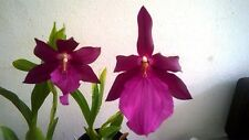 Miltonia spectabile var moreliana, orchid species.