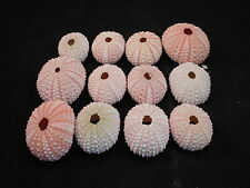 12 Pink Sea Urchin Seashells Shells Beach Wedding Craft Nautical Decor Airplants