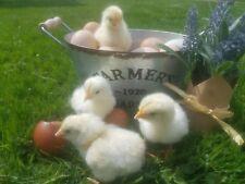 8 + 2 Extra Apa Standard, Blue, and Splash Wheaten Marans Hatching Eggs