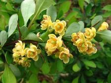 Wintergreen Barberry - Berberis Julianae - 25 seeds -  Evergreen Shrub - Hedging