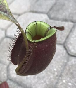 Nepenthes ampullaria Black Miracle