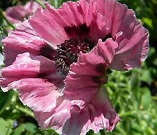 "Papaver (Poppy) orientale ""New Hybrids Mix"" x 100 seeds"