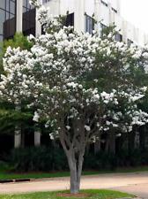 2 LIVE PLANTS CREPE MYRTLE TREES SNOW WHITE FLOWERING CRAPE BUSH SHRUB STARTER