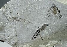 Large fossil crane fly on matrix - Green River fm, Rio Blanco, Colorado insect