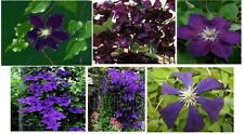 Clematis Vine * Dark Purple Velvet Color * Very Pretty Perennial Vine  25 Seeds