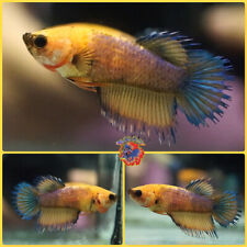 New listing Live Betta Fish Female Fancy Metallic Blue Grizzle Super Yellow Crowntail #E176