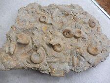 Fossil Ammonites (Grossouvria & Hecticoceras  sp.) - 38 cm - Jurassic Period
