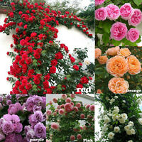 Lots 100PCS Climbing Rose Seeds Rosa Multiflora Perennial Fragrant Flower Decor