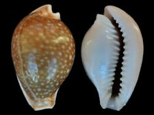 Cypraea miliaris - Shells from all over the World NEW!!!