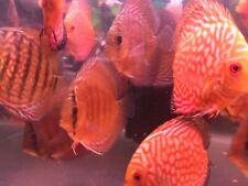 3 inch discus tropical tank fish live aquarium tank fish sales