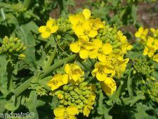 Mustard Seeds White Brassica alba REAR plant Ukraine 4 g - 1 tea spoon S0859