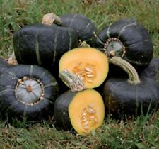 55 Burgess Buttercup Winter Squash Seeds Heirloom - Gift - COMB S/H