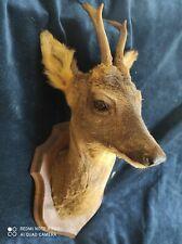 Taxidermie curiosite tête de chevreuil taxidermie roe deer Reh Corzo capriolo