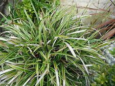 2 X 1 LITRE CAREX MORROWII  (ICE DANCE ) SEDGE PLANT ORNAMENTAL GRASSES