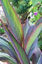 Canna Bird Of Paradise ° 1 plant en godet