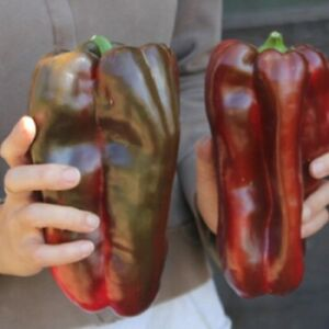 Sweet Pepper Red Giant Seeds – Vegetable Heirloom -  NON GMO
