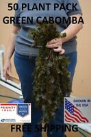 50 Stems Green Cabomba live aquarium plants aquascaping planted tank easy