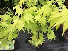 Maple Japanese Acer  'Jordan' a dwarf tree 3lt Or 4 LT pot bright yellow leaves