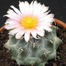 Thelocactus Rinconensis, rare echinocactus exotic succulent cactus seed 15 SEEDS