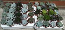 Set of 10 mixed echeveria plants, pots 5.5 cm