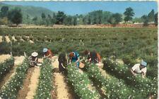 COTE-D'AZUR 8531 la cueillette du jasmin
