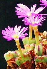 Conophytum Chauviniae, @ exotic cactus rare living stones mesemb seed 15 Seeds