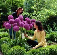 RIESEN LAUCH (Allium giganteum)  - 30 Samen  - Zierlauch - Winterhart