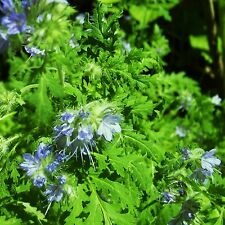 GREEN MANURE - PHACELIA TANACETIFOLIA - 80 grams [..ideal for beds and borders]