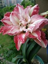 Enchanting Amaryllis Hippeastrum Bulbs Perennial Morning Glory Flower Resistant