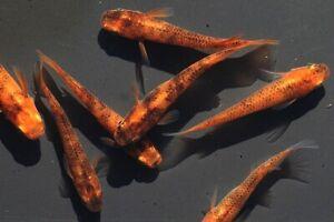 15 Eggs of Oryzias latipes «Orange Marbled» (Japanese Killifish, Medaka)