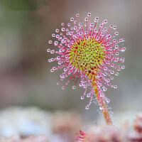 Drosera Peltata Seeds Plant Circular Sundew Carnivorous Venus Flytrap Seeds New