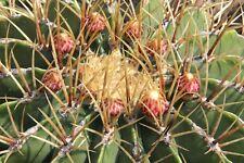Muy Fácil Candy Barrel Cactus - Semillas Frescas