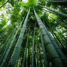 BAMBOO LIVE PLANT / SPROUT BEAUTIFUL RARE BAMBOO