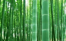 Moso Bambus, Riesenbambus, Samen, Phyllostachys pubescens (edulis) (200 Samen)