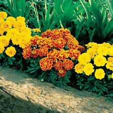 SOPHIA MIXED Marigold Tagetes patula French flower plants 6-cell seedling punnet