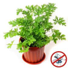 100pcs Lot Citronella Plant Seeds Mozzie Buster Plant Mosquito Repellent Plant
