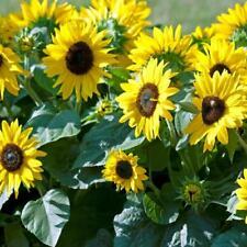 Flower - Sunflower Dwarf Sunspot - Appx 40 seeds - Helianthus annuus