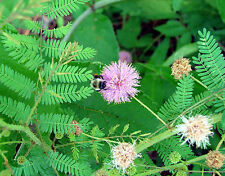 sensitive plant, MIMOSA, novelty, LEAVES FOLD when touched, 20 SEEDS! GroCo