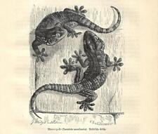 Stampa antica RETTILI GECO COMUNE Tarentola mauritanica 1891 Antique print