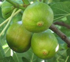 Fig Tree Cuttings-Pingo de Mel