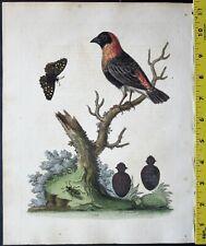 Edwards,Natural History,Grenadier,Passer Angolensis,handc.Eng.ca. 1751#178