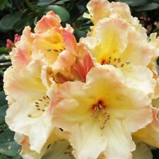 """Rhododendron Horizon Monarch - 36"""" to 42"""" Plant - Creamy Yellow Blooms!"""