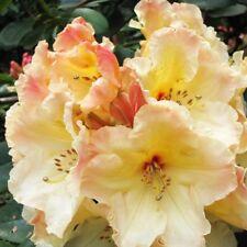 Rhododendron Horizon Monarch - Two Gallon Plant - Creamy Yellow Blooms!