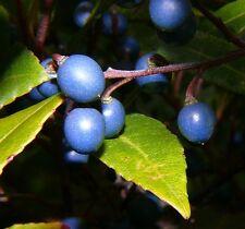 Blue Berry Ash Seed Small Tree Frost Hardy Evergreen  Elaeocarpus reticularis