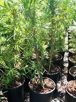 Japanese Yew 3 Gal Plant Large Landscaping Plants Evergreen Shrub Shrubs Popular