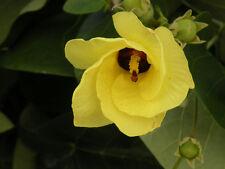 10 Graines - HIBISCUS TILIACEUS - Bourao - Arbre Fleurs - Samen Semi
