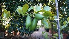 Finger Lime MICROCITRUS AUSTRALASICA CITRON CAVIAR Arbre Fruitier Plant