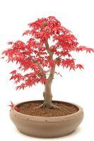 Japanischer ROTER Ahorn / Fächerahorn - 20 Samen - Baum & Bonsai geeignet